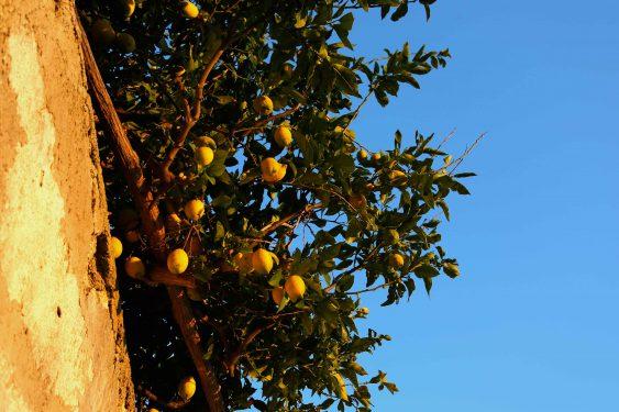 シチリアの家庭のほとんどがレモンを栽培