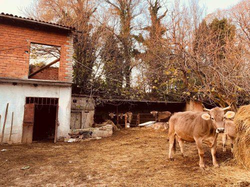 リードなしで犬を散歩する老夫婦や牛舎で寛ぐ牛など、イタリアの田舎らしい風景が広がる