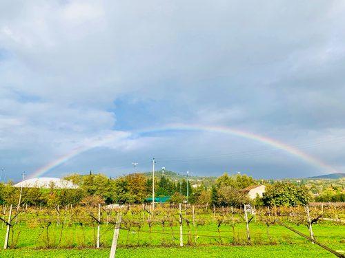ブドウ畑の向こうに虹がかかる