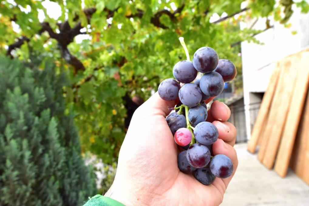 Torretteというアオスタ特有の土着品種である葡萄