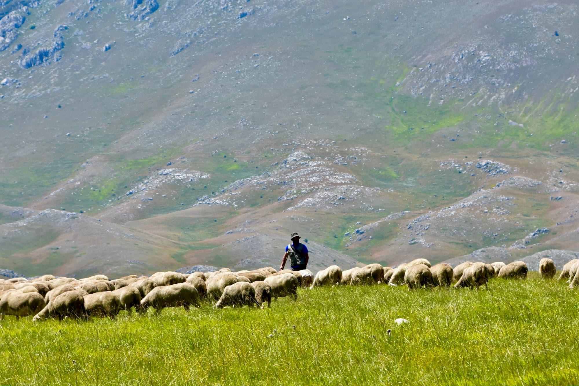 初夏に移牧した後、標高の高い山にみられる放牧風景(アブルッツォ州)