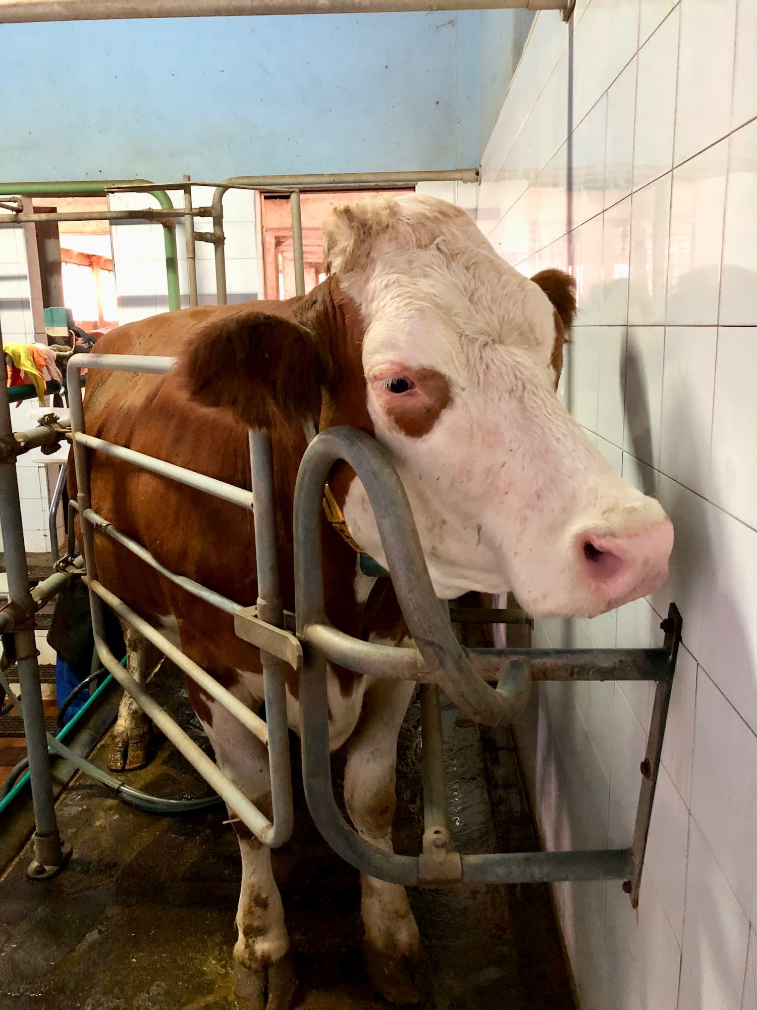 順番に搾乳室で搾乳される牛
