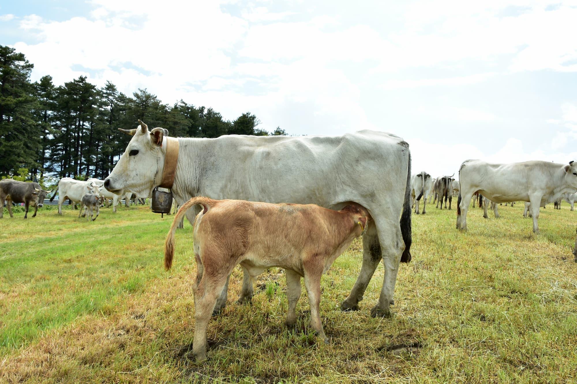 移牧中に授乳をしながら歩く牛の親子