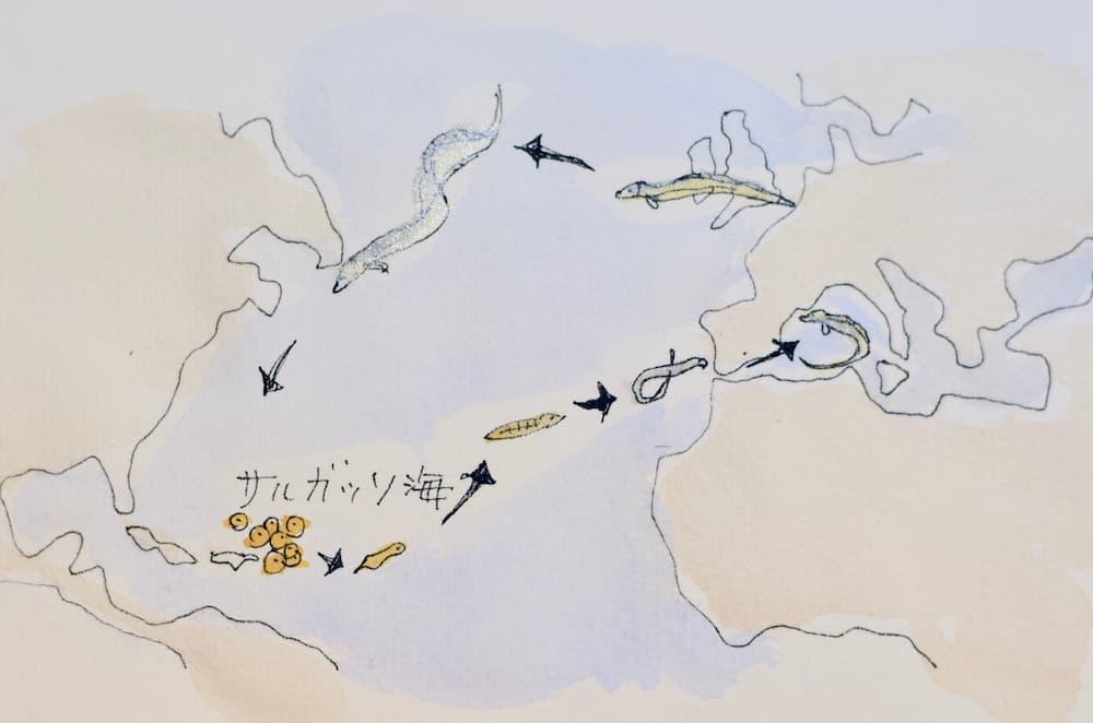 サルガッソ海で産卵したあと、海洋と大陸を回遊するウナギ
