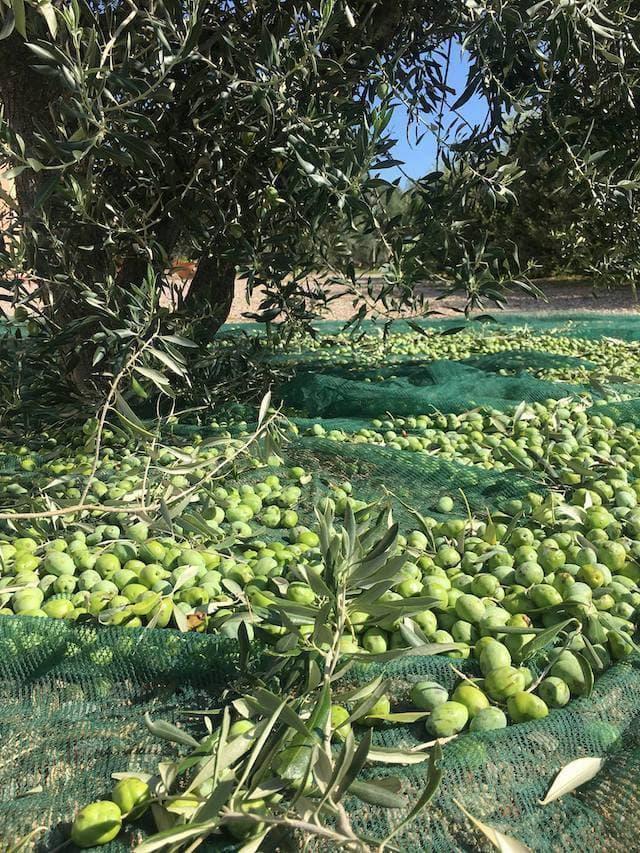 滞在中、タイミングが良ければオリーブ収穫の様子を目にできるかもしれません。(photo: Corte degli Ulivi)